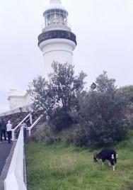 Wategoat at Cape Byron