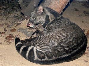 Malabar7 civet