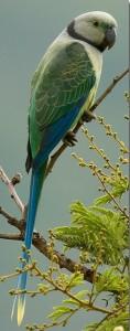 Malabar9 parakeet